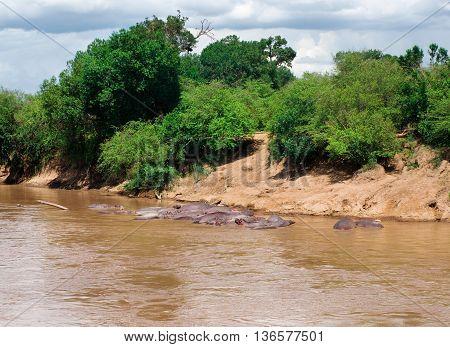 Hippopotamus (Hippopotamus amphibius) in river. Maasai Mara National Park Kenya