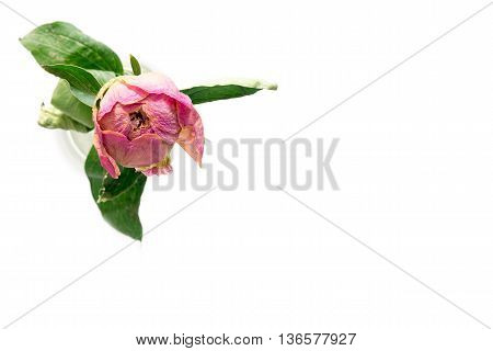 dried peony flower on a white background