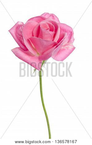 Beautiful Single Pink Rose On A White Background