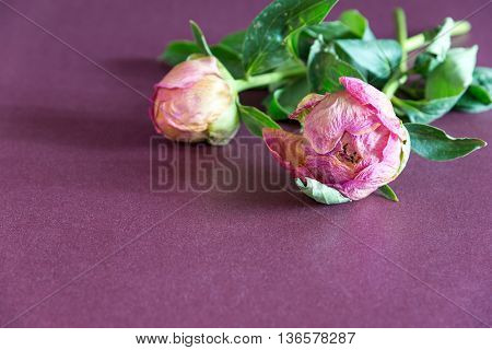 two dried peony flower on a purple background