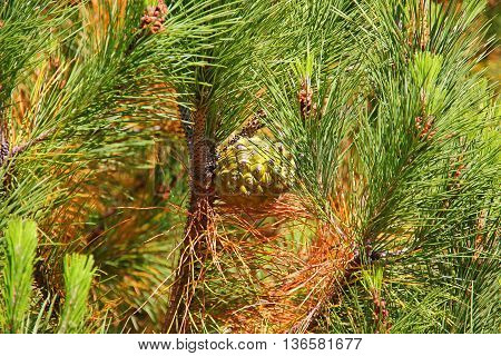 young green needles on a pine branch, a branch of the lump is growing, still green