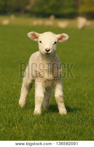 close up of curious lamb standing on meadow