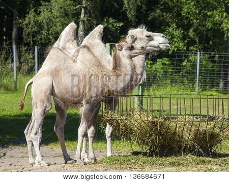 Big Camels In The Zoo