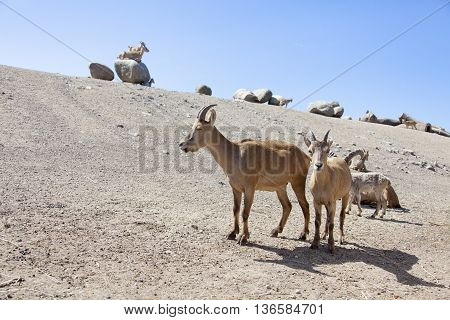 West Caucasian Turs. Mountain Goat With Kids