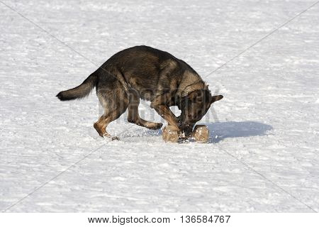German sheepdog running on the  white snow
