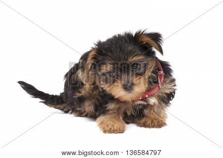 Yorkshire Terrier Puppy