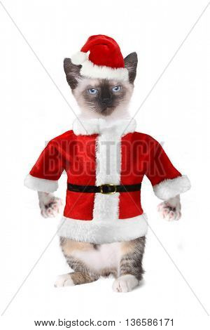 Mad Angry Siamese Cat Wearing a Santa Claus Suit