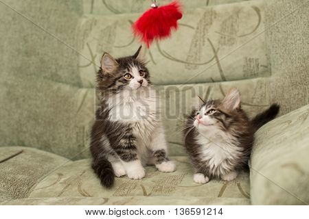 Two small kitten sits on a chair. Pet.
