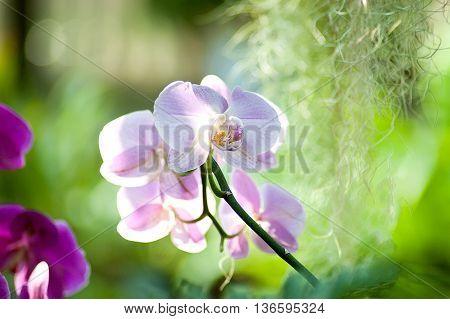 Purple pink orchid flower in bloom summer backlight background