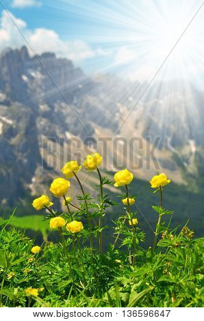 Globeflower blooms on meadow, in the background mountain Latemar - Dolomites, Italy Alps
