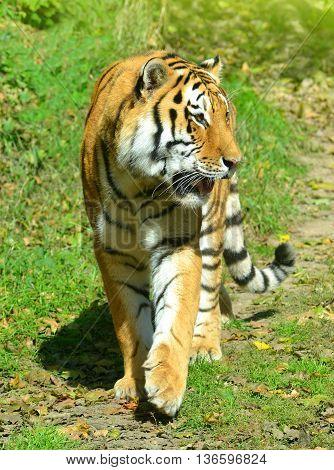 Big Siberian Tiger ( Panthera tigris altaica ). Wildlife photo.