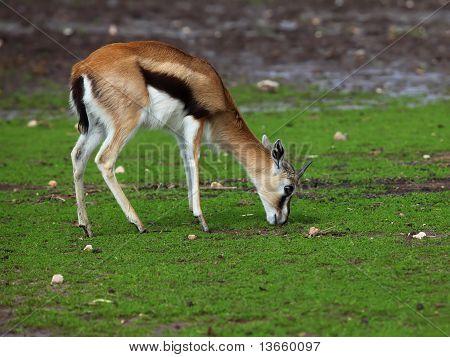 Thompson's Gazelle