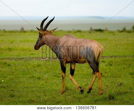 Topi Antelope (Damaliscus lunatus) in savanna Kenya