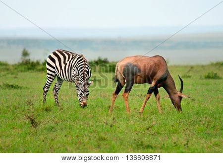 Zebras  And Topi Antelope (damaliscus Lunatus) In African Savanna
