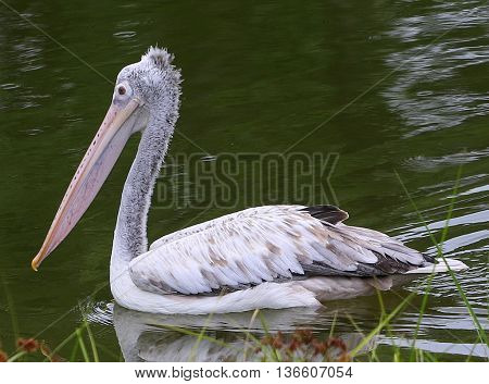 swimming breeding Spot-billed Pelican, small lake south of Songkhla, Thailand