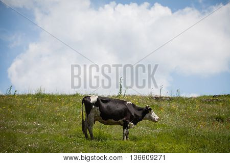 Holstein cow grazing on a field with a cloudy sky.