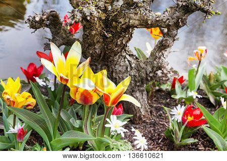 Blossom tulips in the Dutch village, spring Holland background