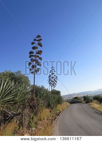 Dry Agave Stalk And Flowerheads