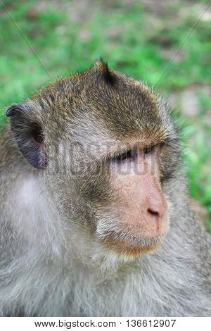 portrait monkey on a background of green grass Russia