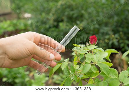 Test tube water in hand, rose plants in the background.
