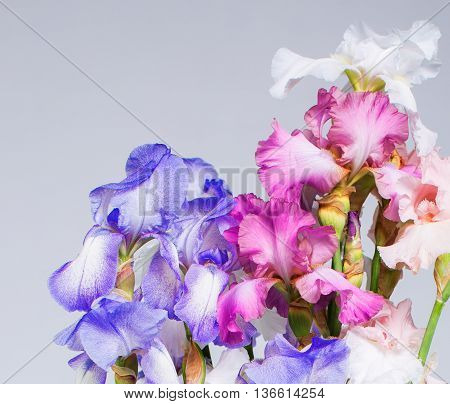 Beautiful blue and pink iris flower background