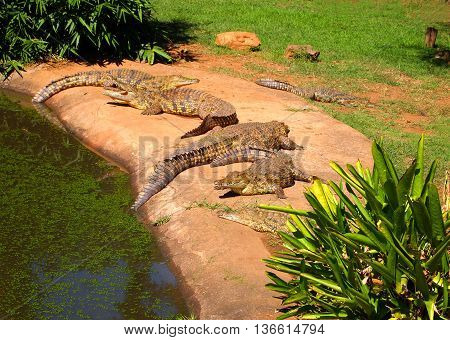 Nile crocodiles hierd lying in the grass. Wild animals. Kwazulu-Natal South Africa.