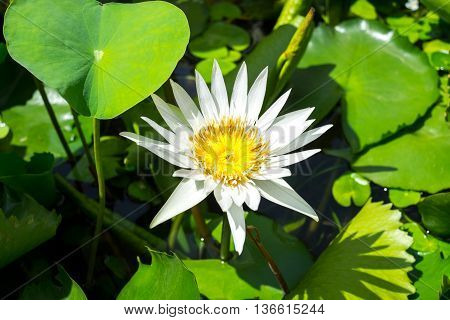 white lotus blooming in the afternoon sunshine