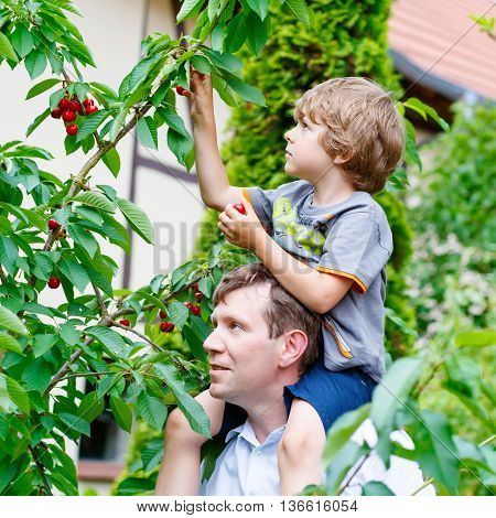 Dad and little blond son having fun with picking cherries in domestic garden on warm summer day, outdoors. Healthy snack for children in summer. Kids helping with gardening