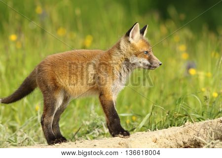 adorable red fox cub in the wild ( Vulpes vulpes )