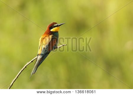 european bee eater perched on twig over green out of focus background ( Merops apiaster )