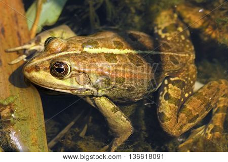 close up of edible frog standing in shallow water ( Pelophylax kl. esculentus )