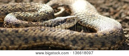close up of a female european meadow viper ( Vipera ursinii rakosiensis ) the rarest specie of snake in Europe
