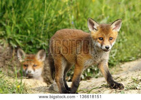 curious fox cub near the burrow ( Vulpes vulpes )