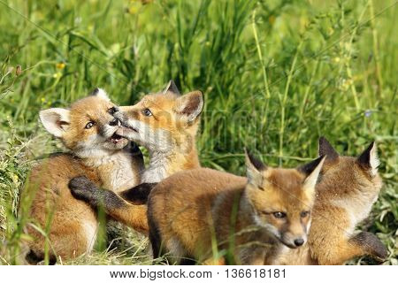 cute european red fox cub playing near the burrow image of wild animals ( Vulpes vulpes )