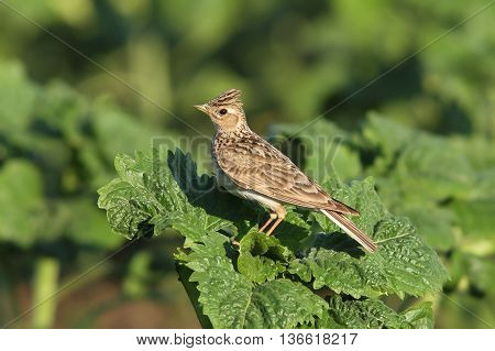 Alauda arvensis - eurasian skylark on green leaf