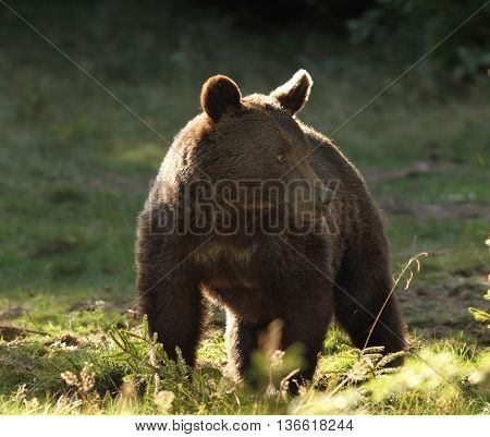 Ursus arctos - european wild brown bear photographed in a clearing Harghita mountains Romania