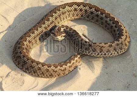Vipera ursinii moldavica - female moldavian meadow viper species on the red list IUCN-critically endangered