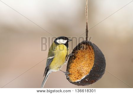 great tit on coconut bird feeder full of lard in the garden ( Parus major )