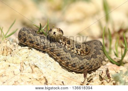 Vipera ursinii rakosiensis - male emerged from hibernation specie on the red list-IUCN-endangered