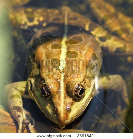 portrait of edible frog standing in water ( Pelophylax kl. esculentus )