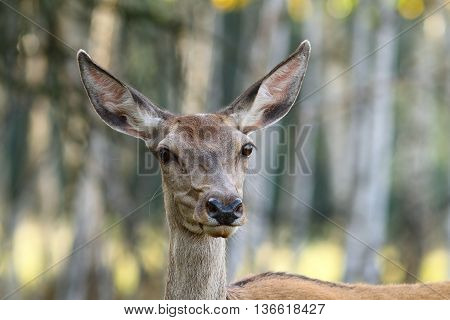 portrait of red deer doe in the forest ( Cervus elaphus )