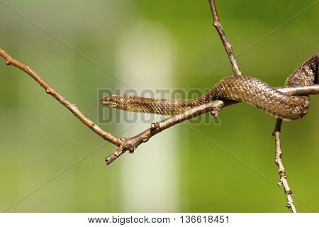 smooth snake on a cherry twig over green background ( Coronella austriaca )