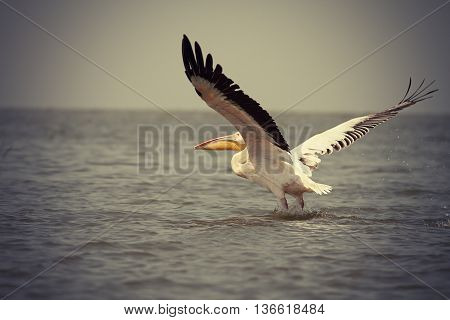 vintage picture of great pelican taking flight from water surface ( Pelecanus onocrotalus )