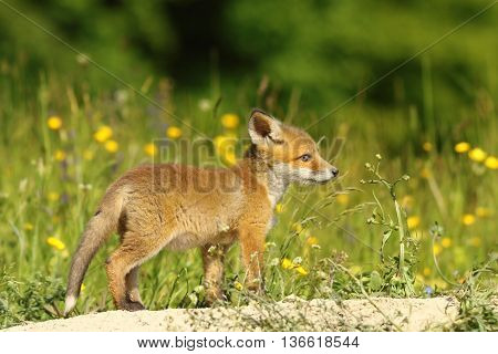 young red fox exploring the surroundings near the burrow ( Vulpes vulpes )