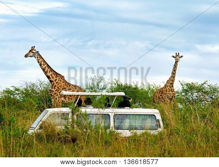 Tourists On Safari Take Pictures Of Giraffes