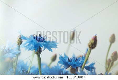 Beautiful landscape with blue cornflower flowers on a white background summer field. Blossom floral abstract with bokeh and copy space. Rustic style. Macro image. Place for text. Selective focus.
