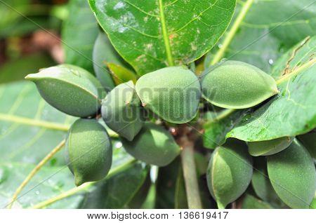 Terminalia Catappa Fruit
