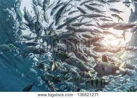 School of striped yellow fish underwater. Thailand