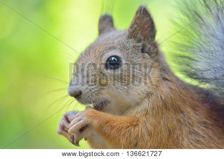 Close-up of a cute squirrel eating a nut