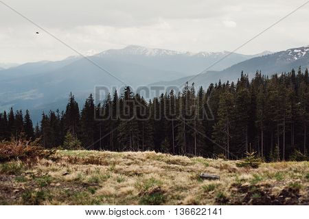 landscape. Forest in the mountains Carpathians Ukraine Dragobrat
